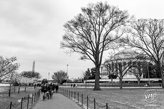 600_5501 (VMP photography) Tags: sakura washington cherryblossom tree travel capitol usa united unitedstates landmarks monuments jefferson lincoln