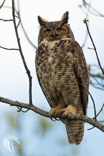 Great Horned Owls of New Jersey | 2017 - 25