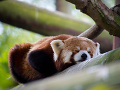 Sleepy Panda - Lumix G Vario 300mm F/5.6 (JackSoldano) Tags: red panda colchester zoo lumix g vario 300mm f56 sleepy sleep