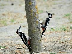 Picopicapinos.(Dendrocopos major) (Dresquel) Tags: ave bird birds aveforestal ornithology ornitologia naturaleza nature olympus panaleica100400 micro43 omdem1 wildlife picopicapinos picidae piciformes