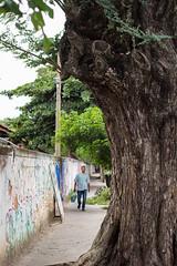 Árvore na calçada II (Eduardo Virgili) Tags: antiga antigo vilaindustrial campinas árvore calçada pessoa