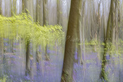 bluebells icm (pixellesley) Tags: icm multiple exposure woodland england flowers bluebells trees beeches forest leaves fresh spring landscape lesleygooding