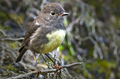 South Island Robin (Yani Dubin) Tags: bird darktable colour green westcoast australis newzealandnative plant robin gimp d7000 endemic perching brown autumn animal charmingcreekwalkway native nature karamea buller yellow petroica newzealand color southisland 150600mmf563dgoshsm|c grey southislandrobin sigma nzrainforest