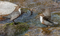 DSC6015  Dippers.. (jefflack Wildlife&Nature) Tags: dipper dippers birds avian animal wildlife wildbirds waterbirds riverbirds rivers fishers countryside nature sunrays5
