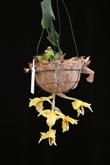 Coryhopea Perry Bucket #2 (species orchids) Tags: coryhopeaperrybucket seedling first flowering orchids plants botanical