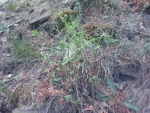Asplenium cuneifolium 20170509_164038