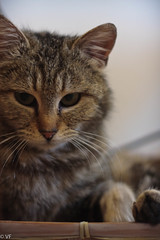Imbronciata (vaferina) Tags: cat chat gatto catwoman lasagna