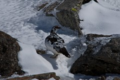 Rock Ptarmigan, Snow Chicken,  (Yoshia-Y) Tags: snow chicken rockptarmigan