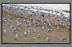 Two Pelicans and 100 seagulls-1= (Sheba_Also) Tags: two seagulls pelicans 100