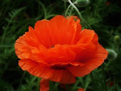 poppies 022 (cellocarrots) Tags: poppies