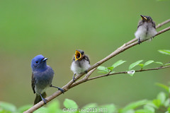 Black-naped Monarch brood (Allen Lee(houpc)) Tags: nikon juvenile  brood 2013  nikond7100 nikkro500mm