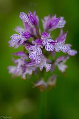 Neotinea tridentata 7 (Tschissl) Tags: flowers austria sterreich orchids pflanzen blumen location orchideen hofsttten neotinea