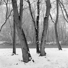 Winter Trees and River (Paul Glover) Tags: trees winter blackandwhite snow cold film nature water monochrome weather river naked square landscape outdoors frozen snowy bare branches freezing chilly trunks stark yashicaa