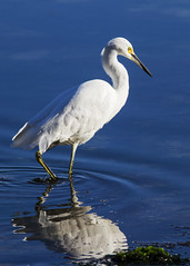 Stalker (Dory Breaux Photography) Tags: ocean white bird eye heron water pool tide eat shore hunter prey survive egrit