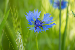 Blue cornflower in a green field (dorena-wm) Tags: blue light flower green nature field licht dof bokeh natur feld grn blau blume cornflower kornblume getreidefeld 2013 dorenawm nex7 gossenhofen