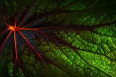 Arterial (Gabriel Tompkins) Tags: park red plants usa abstract macro green texture leaves lines closeup backlight prime washington leaf flora nikon colorful warm spokane vibrant arboretum conservatory greenhouse pacificnorthwest translucent veins backlit 60mm nikkor washingtonstate pnw manitopark mytop translucency micronikkor d90 2013 inlandnorthwest gaiserconservatory nikond90 60mmf28gmicro 60mmf28g tronam gabrieltompkins tronamcom