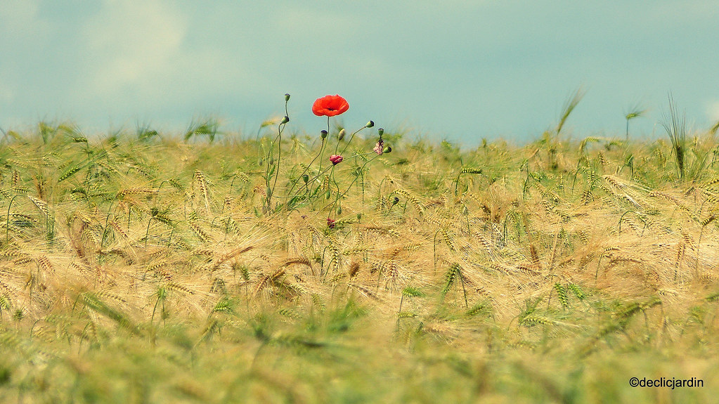 The World\'s most recently posted photos of coquelicot and monet ...