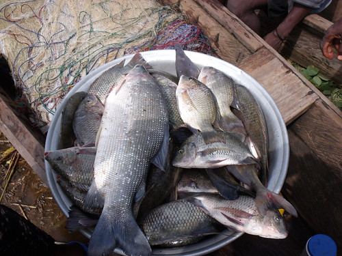 Freshwater fish caught from Lake Volta, Ghana. Photo by Curtis Lind, 2009.