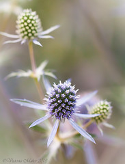 sea holly (Vicki Maher Thank you for 200,000 views!) Tags: flowers flower macro nature garden purple bokeh chicagobotanicgarden seaholly variegatedseaholly