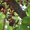 Vinagrillo V (Karen Blix) Tags: bellavista santodomingo oxalidaceae vinagrillo averrhoa averrhoabilimbi pepinito
