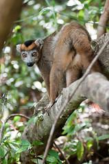 diego_miscs-18 (lemur noticing a annoyance :) ) (Mika Andrianoelison) Tags: forest diego lemur tamron90mm ankarana k20d
