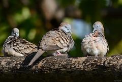 Zebra Dove (Geopelia striata) (Jerry Ting) Tags: hawaii maui kihei zebradove geopeliastriata