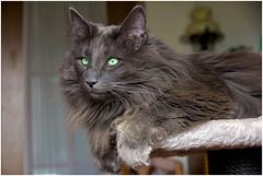 Luan (FocusPocus Photography) Tags: cat feline chat kitty norwegian gato katze sick kater krank longhaired luan norweger forestcat waldkatze norwegische langhaarkatze