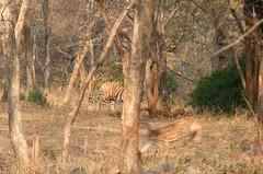 Predator and Prey (praja38) Tags: life trees wild nature forest cat mammal feline wildlife tiger hunting deer bigcat prey wilderness predator herd hunt rajasthan territory ranthambore bengaltiger northindia chital spotteddeer ranthamborenationalpark
