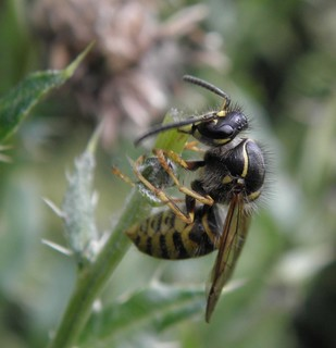 Thistle munching wasp
