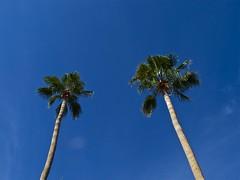 Blue Sky (Boye not Bowyer) Tags: arizona phoenix palms raw bluesky