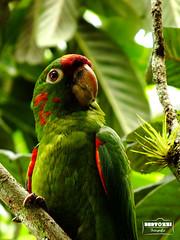 Pintas rojas (Bryan Bertozzi) Tags: red naturaleza verde green bird nature rojo vert ave pajaro rosso verdi