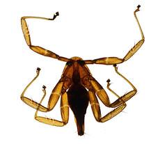 Bat fly (Scrubmuncher) Tags: microscopicanimals micro tiny parasite zoology rosspiper myanmar burma wildburma bbc2 expedition bbcexpedition entomologist entomology salu river