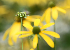 late bloomer (seddeg ~) Tags: flower yellow focus cone bokeh north ridge bloomer carolina late procrastination bud overlook wildflower blueridgeparkway selective appalachianmountains beartrail notextureadded g336012