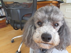 Curious Mak (BADWOLFBOWTIES) Tags: dog cute puppy nose fluffy cutie poodle doggy puppydog toypoodle