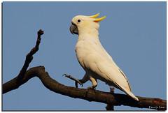 Yellow-crested Cockatoo (Kennix Lam) Tags: bird canon eos pssaro hong kong 7d  fugl vogel oiseaux pjaro  uccello  fgel  adar  ptk