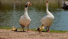 The Duck Family (Dam Studios) Tags: family naturaleza sun nature water birds animals rio familia canon river walking duck ducks patos cupple 650d ilobsterit