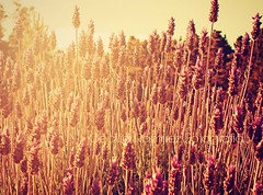 USA PROTECTOR SOLAR (..Cecilia..) Tags: flores luz sol amor vida felicidad solidaridad esperanza humanidad serhumano lavandas gratitud amorporvos amorporelprjimo usaprotectorsolar