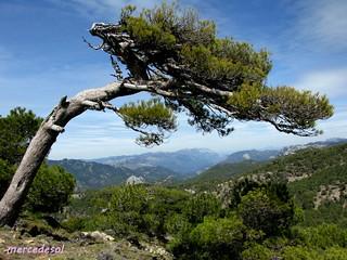 Un árbol solo ( el pino de Gualay, sierra de Cazorla )