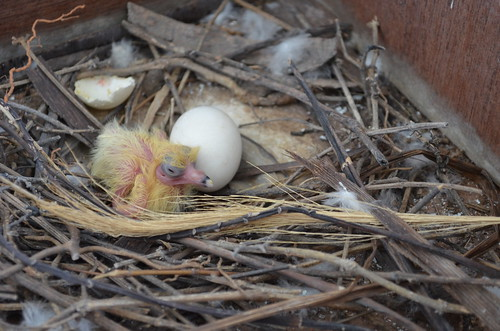 New born squab in home balcony!