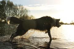 46/52 Extra (meg price) Tags: dog pet collie sheepdog border bordercollie barney rescuedog