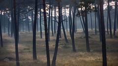 Le bois des Elfes (photosenvrac) Tags: photo foret arbre bois ambiance sologne thierryduchamp