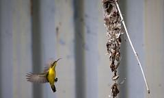 Sunbird 1 (Dan Armbrust) Tags: australia queensland cannon birdsinflight sunbird australianbirds armbrust yellowbelliedsunbird 100400f4 danarmbrust