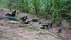 DSC07023 (gliderpilotmp) Tags: park wild animals thailand apartment sony national jungle tours chong khao pak yai bobbys nex nex6