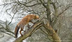 Fox climbing a tree (EXPLORE) (Alex Verweij) Tags: red tree wet strange rain nt boom explore fox predator regen vos reinier vreemd alexverweij redreinier