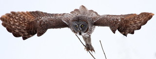 Great Grey Owl (Strix nebulosa) {Explored}