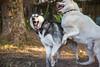 2/52 bitey-face (Gertrude139) Tags: blackandwhite dog face ouch husky play jaw teeth panic rawr siberianhusky bite launch roar sibe bieyed