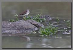 The Wood Sandpiper (Tringa glareola) and its reflection (Samyak (www.samyakkaninde.com)) Tags: india reflection bird wildlife maharashtra sandpiper woodsandpiper tringaglareola migratorybird nanded wintermigration