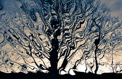 DSC_0034 - Root and Branch (edit) (SWJuk) Tags: uk trees winter england home reflections canal nikon competition lancashire reflected winner bcc lightroom burnley leedsliverpoolcanal cameraclub d90 2013 nikond90 swjuk mygearandme mygearandmepremium edited2014