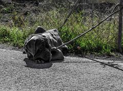 mirada en gris / look in gray (juancarts) Tags: bw españa dog naturaleza blancoynegro animal animals gris blackwhite nikon bn perro murcia animales nikkor lightroom desaturación d5100 nikond5100 nikkordxafs40mmf28gmicro