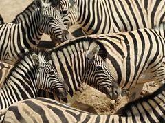 Zebras Etosha